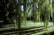 Weeping Willow Photos - A Weeping Willow Casts Long, Cool by Jason Edwards