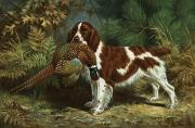 Portrait Artists Framed Prints - A Welsh Springer Spaniel Holds A Dead Framed Print by Walter A. Weber