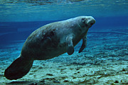 Fanning Posters - A West Indian Manatee In The Shallow Poster by Michael Wood