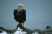 Roosting And Resting Posters - A Wet American Bald Eagle Perches Poster by Klaus Nigge