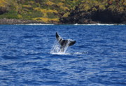 Humpback Whale Metal Prints - A Whale of a Time Metal Print by Brian Governale