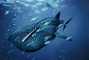 Large Scale Posters - A Whale Shark Poster by Brian J. Skerry
