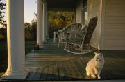 Wicker Chairs Framed Prints - A White Cat In Sunlight On A Columned Framed Print by Joel Sartore