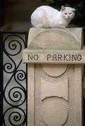 No Parking Prints - A White Cat Sits On A No Parking Sign Print by Michael Melford