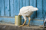 Ostrich Photos - A White Chicken Thrusts Its Head Into A Tin Can In Front Of A Turquoise Painted Rough Timber Wall, Poi Mazar, Tajikistan by Doug Meikle  Dreaming Track Images