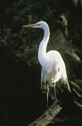 Animal Behavior Art - A White Egret Perches On A Tree Stump by Ed George