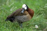 Zoo Animals Photo Prints - A White-faced Whistling Duck Print by Joel Sartore