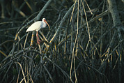 Tree Roots Photo Posters - A White Ibis Perches On A Mangrove Tree Poster by Klaus Nigge