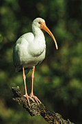 Roosting And Resting Posters - A White Ibis Perches On A Tree Branch Poster by Klaus Nigge