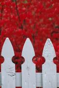 State College Prints - A White Picket Fence Against Red Autumn Print by Lynn Johnson