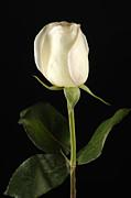A White Rose Rosaceae Print by Joel Sartore
