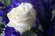 White Flower Photos - A White Rose by Sharon  Talson