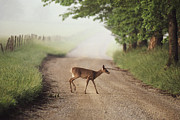 Dirt Roads Photos - A White-tailed Deer Crosses A Dirt Road by George F. Mobley