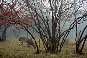 Mammals Prints - A White-tailed Deer Forages Print by Raymond Gehman