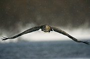 Animal Behavior Art - A White-tailed Sea Eagle In Flight by Klaus Nigge