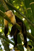 Mammals Prints - A White-throated Capuchin Monkey Print by Roy Toft