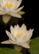 Water Lilly Photos - A white Water Lilly in full bloom. by Michael  Nau