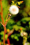Plants Framed Prints Photos - A wild Dandelion puff ball by M K  Miller