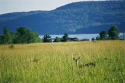 Otsego Lake Posters - A Wild Deer Peers Through The High Poster by Stephen St. John