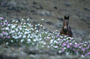Wild Horses Prints - A Wild Horse On A Wildflower Covered Print by Tim Laman