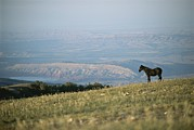 Pryor Posters - A Wild Horse Stands On A Hill Poster by Chris Johns