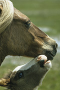 Juvenile Mammals Posters - A Wild Pony Foal Nuzzling Its Mother Poster by James L. Stanfield