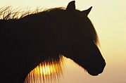 Wild Horses Framed Prints - A Wild Pony In Silhouette At Twilight Framed Print by James L. Stanfield