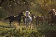 Wildlife Conservation Posters - A Wild Stallion With Herd Poster by Melissa Farlow