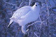White Birds Posters - A Willow Ptarmigan Perched On A Branch Poster by Nick Norman