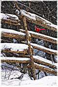 Cardinal Photo Framed Prints - A Winter Moment Framed Print by Steve Harrington