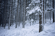 Evergreen Trees Photo Posters - A winter view of the Poster by Taylor S. Kennedy