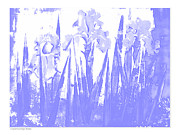 White And Blue Posters Mixed Media - A Wisp of Blue Iris by Diana  Tyson