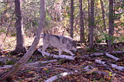 Wolves Photos - A Wolf On The Prowl   by Jeff  Swan