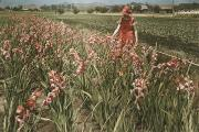 Red Gladiolus Photos - A Woman Admires The Cultivated by Charles Martin