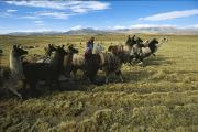 Herders Prints - A Woman Herds Her Flock Of Llamas Print by Kenneth Garrett