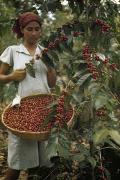 El Salvador Framed Prints - A Woman Picks Ripe Red Coffee Berries Framed Print by Luis Marden