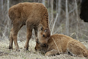 Bison Photos - A Wood Buffalo Calf Nuzzles Its Twin by Paul Nicklen