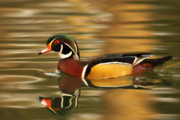 Max Allen - A Wood Duck Drake And...