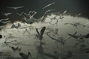Sea Birds Prints - A Wood Ibis Alights Among Egrets Print by Medford Taylor