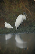 Egretta Thula Photos - A Wood Stork And A Snowy Egret Standing by Joel Sartore