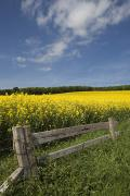 Fencing Framed Prints - A Wooden Fence Along A Field Of Canola Framed Print by John Short
