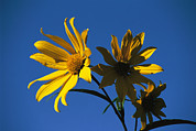 Natural Forces Art - A Yellow Flower Faces Toward The Sun by Paul Damien