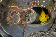 Hiding Metal Prints - A Yellow Goby Peers Through The Window Metal Print by Brian J. Skerry