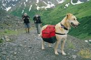 Hikers Posters - A Yellow Labrador, Wearing A Backpack Poster by Rich Reid
