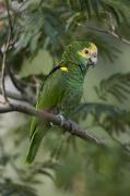 Captive Animals Posters - A Yellow-shouldered Amazon Amazona Poster by Joel Sartore