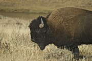 Prairie Heritage Site Framed Prints - A Yellowstone Bison 9615 Framed Print by Michael Peychich