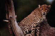 Endangered Cheetahs Art - A Young African Cheetah Acinonyx by Chris Johns