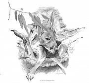 Kangaroo Drawings - A Young Australian by Chris McClelland