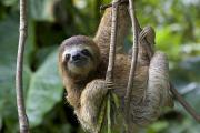 Bradypus Variegatus Posters - A Young Brown-throated Three-toed Sloth Poster by Roy Toft
