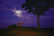 Prowling Posters - A Young Cheetah Prowls By Moonlight Poster by Chris Johns